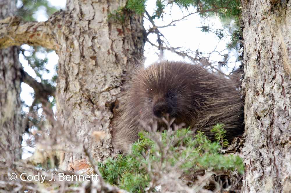 Mr. Porcupine (1)